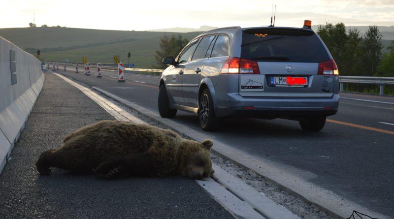 Medvedica stret s autom neprežila