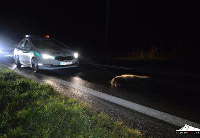 Mláďa medveďa hnedého zrazilo auto